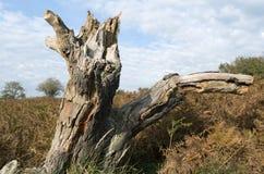 Пень дерева в ландшафте дюны. Стоковое Изображение RF