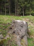 Пень дерева в лесе Стоковое фото RF