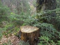 Пень дерева в лесе Стоковое Изображение