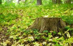 Пень дерева в лесе Стоковая Фотография