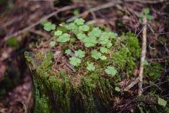 Пень дерева в лесе Стоковые Фотографии RF