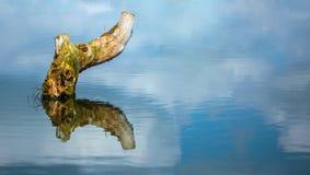 Пень дерева в озере Стоковое Фото
