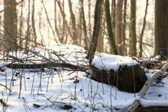 Пень дерева в снежном ландшафте леса Стоковые Изображения