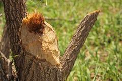 Пень дерева недавно жевать бобром Стоковые Изображения RF