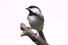 пень изолированный птицей Стоковые Фото