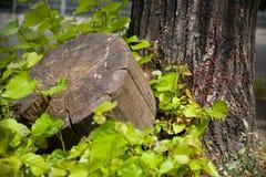 Пень и древесина Стоковые Изображения RF