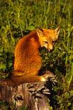 пень красного цвета лисицы Стоковые Фотографии RF