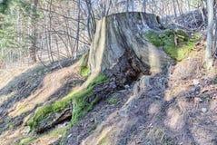 Пень покрытый с мхом среди чуть-чуть корней, упаденных листьев и blad Стоковые Изображения RF