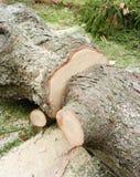 Пень свеже дерева отрезка Стоковые Изображения RF