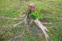 Пень с корнем Стоковое Изображение