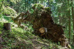 Пень с корнями выкорчеванного дерева Стоковые Фото