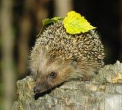 пень hedgehog Стоковое Фото