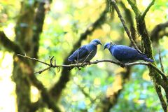 Пепельнообразный голубь стоковые фотографии rf