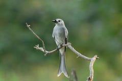 пепельнообразный drongo Стоковые Фото