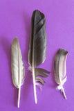 3 пера голубя на фиолетовой предпосылке Стоковое Изображение