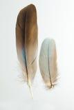 2 пера garrulus Caracius европейского ролика Стоковые Изображения