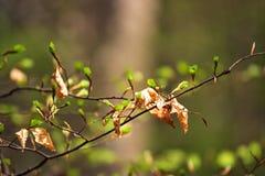 Первая весна зеленая gentle листья, бутоны и макрос ветвей Стоковые Фотографии RF