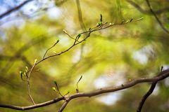 Первая весна зеленая gentle листья, бутоны и макрос ветвей Стоковая Фотография