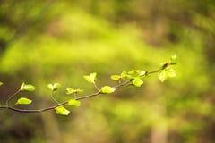 Первая весна зеленая gentle листья, бутоны и макрос ветвей Стоковая Фотография RF