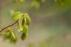 первая весна листьев Стоковое Изображение RF