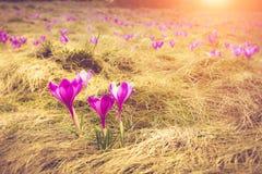 Первая весна цветет крокус в солнечном свете стоковая фотография