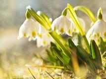 Первая весна цветет, snowdrops в луге, символ природы будя стоковые изображения rf