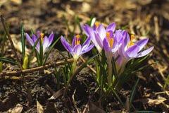 первая весна цветков стоковые изображения rf