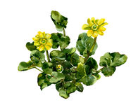 Первая желтая акварель цветков Стоковые Фотографии RF