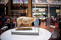 Первая клонированная млекопитающаяся тележка овцы стоковая фотография rf