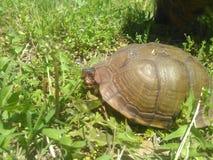 Первая черепаха года стоковое изображение rf