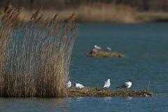 Первое солнце весны Чайки на озере стоковое фото rf