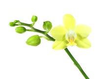 Первое цветене желтой орхидеи изолированной на белизне Стоковая Фотография RF