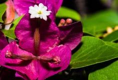 Первое цветене красивого цветка бугинвилии Стоковое Изображение RF