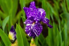 Первое цветене радужки сезона Стоковое Фото