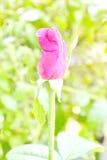Первое цветене роз стоковые изображения