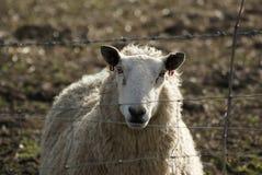 первоклассные овцы Стоковое Фото
