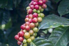 Первоначально кофеин в сырцовом кофе стоковые фотографии rf