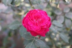 Первоначально большой розовый цветок Стоковое Изображение RF