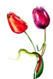 Первоначально цветки тюльпанов Стоковое Фото