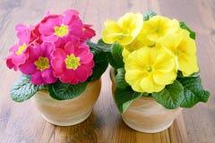 2 первоцвета в цветочных горшках Стоковые Изображения RF