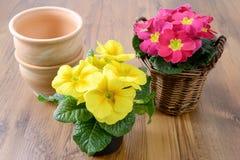2 первоцвета в цветочных горшках Стоковые Фото