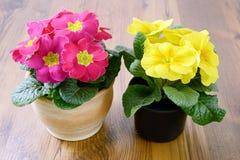 2 первоцвета в цветочных горшках Стоковые Изображения
