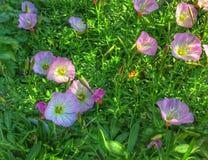 Первоцветы в зеленом цвете Стоковое Изображение