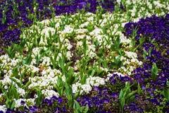 Первоцветы и тюльпаны Стоковые Фото