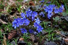 первоцветы Красивые голубые цветки в лесе в апреле скачут Стоковое Изображение
