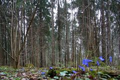 первоцветы Красивые голубые цветки в лесе в апреле скачут Стоковое фото RF