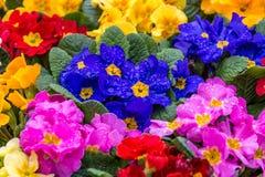 Первоцветы после дождя Стоковое Фото