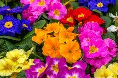 Первоцветы после дождя Стоковая Фотография