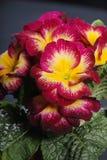 первоцветы Стоковые Изображения RF