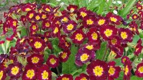 первоцветы Стоковые Фотографии RF